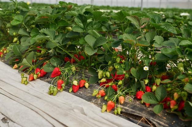 Садоводы в Тамбовской области собрали уже более 25 тонн ягод