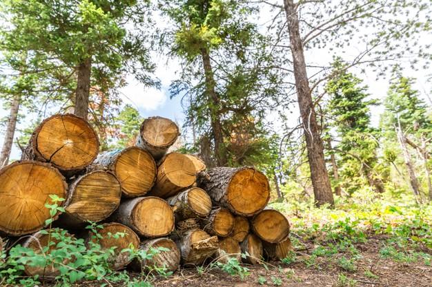 В Кирсановском лесничестве незаконно нарубили сосен на 300 тысяч рублей