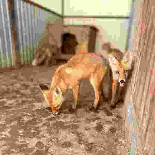 """Волк и семья лисят из приюта """"Доброе сердце"""" нуждаются в помощи"""