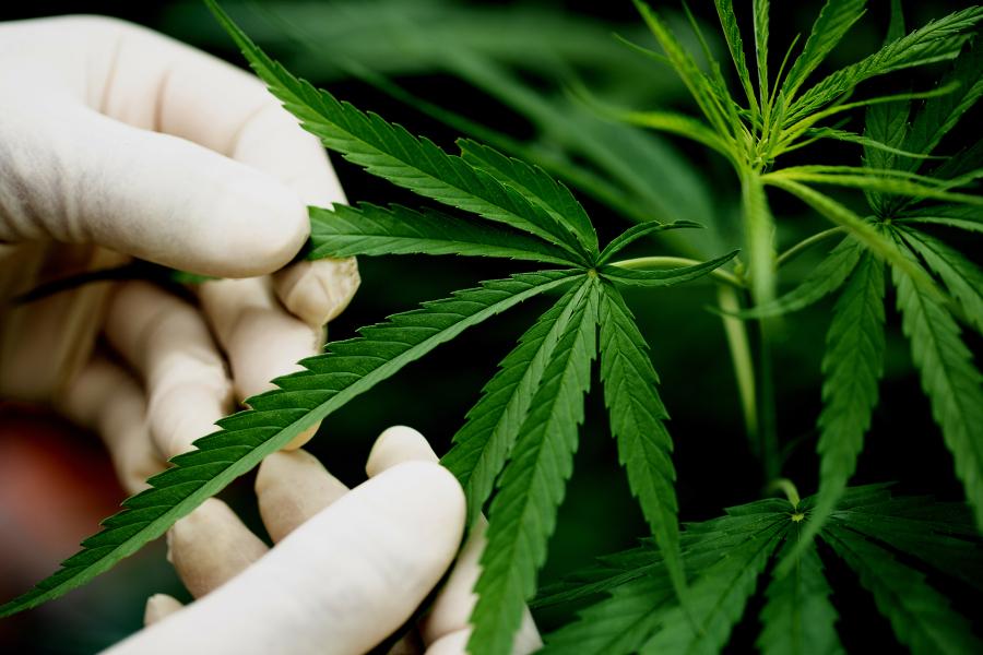 Полиция задержала тамбовчанина, выращивавшего коноплю в парнике на огороде