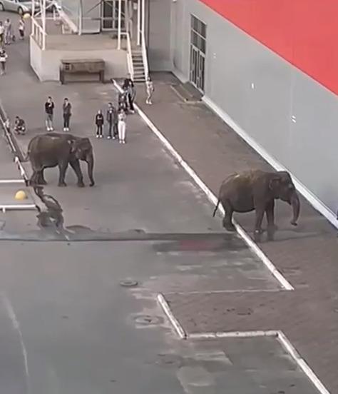 Тамбовчане пожаловались на слонов, гуляющих возле гипермаркета в центре города