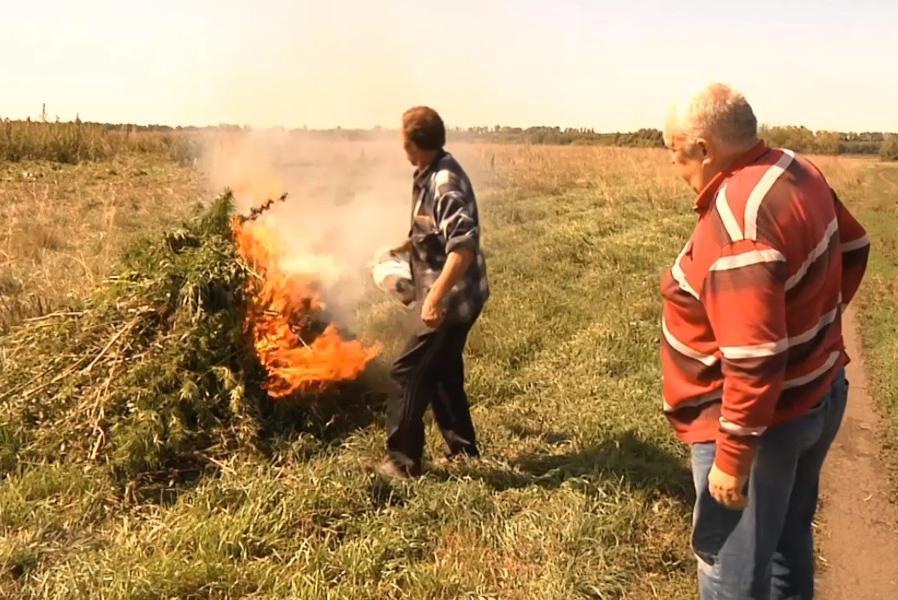 В Тамбовской области уничтожили более 25 тонн конопли и мака