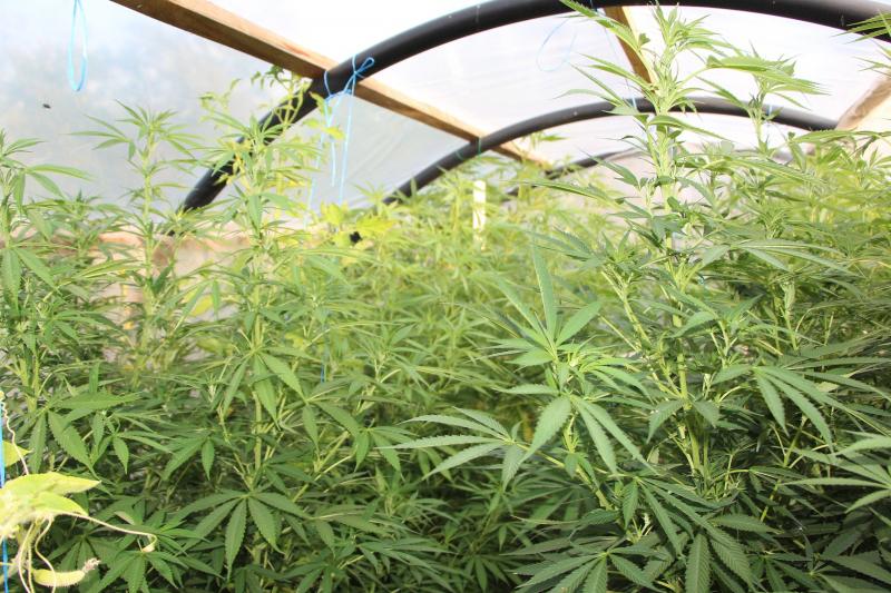 На даче под Тамбовом выращивали 2,5-метровые кусты марихуаны