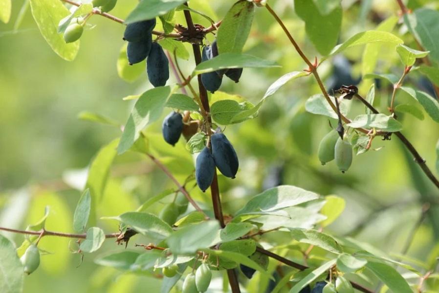 Названа замедляющая старение ягода