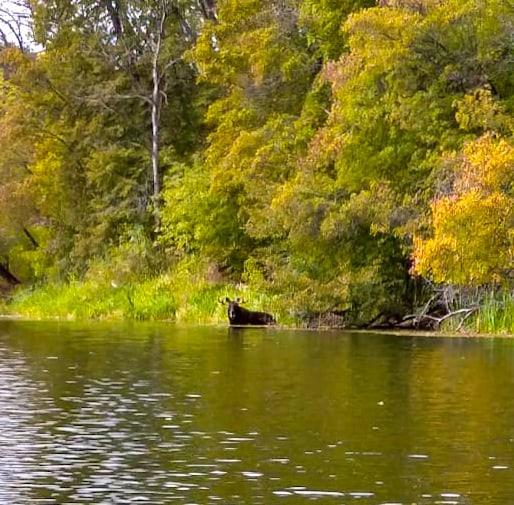 На фотоловушку Воронинского заповедника попал купающийся лось