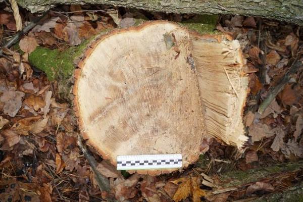 В моршанских лесах мать с сыном незаконно спилили дубовую рощу