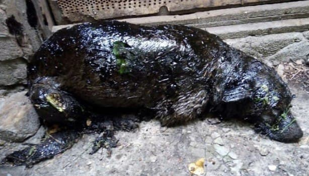 В приюте под Тамбовом спасли покрытую битумом собаку