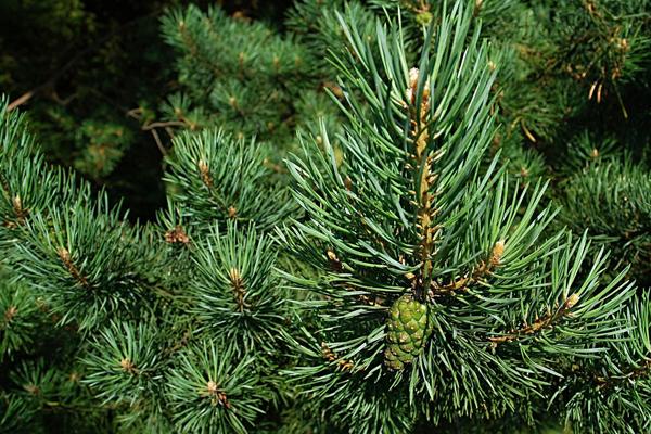 В тамбовских лесах высадят 3,5 тысячи сосен